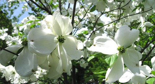 Japanese Dogwood tree, New Haven (CT) green, 11 May 2008