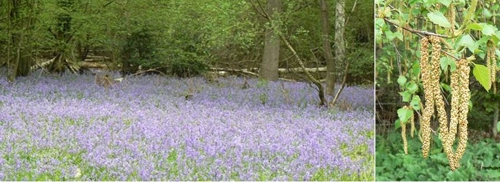 Carpet of bluebells, and birch catkins, 4 May 2008