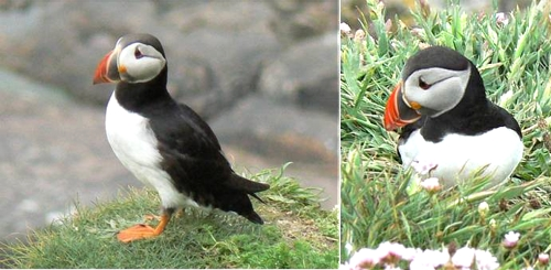 Puffins, Sumburgh Head, Shetland, 7 June 2008