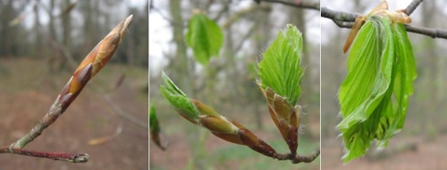 Beech buds emerge 20 April 2008