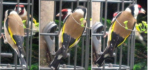 Goldfinches, Oxshott, 25 May 2008
